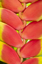 Heliconia Flower Royalty Free Stock Images - 8197819
