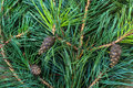 Pine Branch With Cones Stock Photos - 81902623