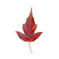 Maple Leaf Stock Photography - 81907352