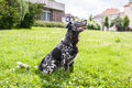 Dog Sitting And Howling In The Midst A Green Grassland Stock Images - 81926344