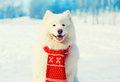 Winter White Samoyed Dog In Scarf On Snow Royalty Free Stock Photography - 81938187