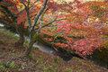 Red Autumn Leaf Lighted Up By Sunshine In Obara, Nagoya, Japan Royalty Free Stock Photography - 81960797