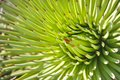 Agave Stricta Royalty Free Stock Photo - 81986195