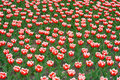 Tulips Royalty Free Stock Images - 828539