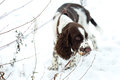 Cute Puppy English Springer Spaniel Walk On First Snow. Stock Images - 82003854