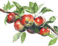 Apples On A Tree Watercolor Illustration Painting Isolated On White Background Royalty Free Stock Images - 82019559