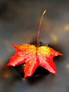 Dried Maple Leaf In Water, Floating Maple Leaf. Stock Image - 82092561