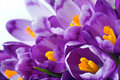 Crocus Flower Royalty Free Stock Images - 8214489