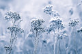 Hoarfrost On The Flowers In Winter Field Stock Images - 82100634