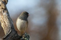 Junco Perched Stock Images - 82101234