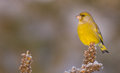 European Greenfinch - Carduelis Chloris Stock Photography - 82173772