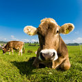 Happy Swiss Cow On Green Grass Stock Photos - 8224613