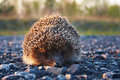 Hedgehog On The Road Stock Photography - 8228372
