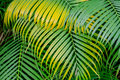 Background Of Green And Yellow Palm Leaves Royalty Free Stock Photos - 82217608