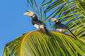Malaysian Hornbills Sitting On A Palm Tree Stock Photography - 82236332