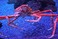 Giant Japanese Spider Crab Stock Image - 82294451