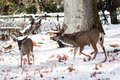 Mule Deer Buck With Large Antlers In Snow Stock Photography - 82302822