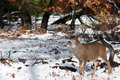 Mule Deer Buck With Large Antlers In Snow Stock Photos - 82302963