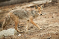 Coyote Hunting Stock Images - 82303634