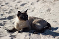 Siamese Female Cat Relaxing On Sandy Beach Royalty Free Stock Images - 82322839