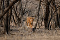 Tiger Male In A Beautiful Light In The Nature Habitat Of Ranthambhore National Park Stock Photography - 82402672