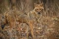 Beautiful Golden Jackal In Nice Soft Light In India Royalty Free Stock Photography - 82406217