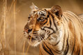 Tiger Female In A Beautiful Light In The Nature Habitat Of Ranthambhore National Park Stock Images - 82407254