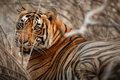 Tiger Male In A Beautiful Light In The Nature Habitat Of Ranthambhore National Park Stock Images - 82407754