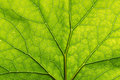Texture Detail And Pattern Of A Plant Leaf Fig Veins Are The Similar Structure To Tree Royalty Free Stock Photos - 82490548