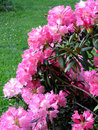Rhododendron Stock Photography - 8250932