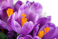 Crocus Flower Stock Photography - 8258522
