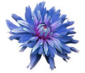 Big Blue Flower Opens On A White  Background Isolated  With Clipping Path. Closeup. Side View For Design. With Drops Of Water. Dah Royalty Free Stock Image - 82622576