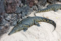 A Dangerous Crocodile In Oasis Park On Fuerteventura Royalty Free Stock Photography - 82625147