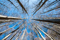 Upward Perspective View Of Tall Trees On A Blue Sky Background Royalty Free Stock Photo - 82675015