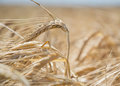Close Up Of Ripening Yellow Barley Ears On Field At Summer Time. Detail Of Golden Barley Hordeum Vulgare Spikelets. Rich Harvest Royalty Free Stock Photography - 82687257