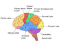 Parts Of Brain Royalty Free Stock Image - 82709486
