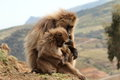 Gelada Baboons In The Simien Mountains Of Ethiopia Stock Images - 82720084