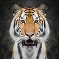 Tiger Face Close Up Stock Photography - 82727242
