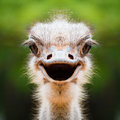 Ostrich Face Close Up Stock Photo - 82729620