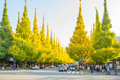 A Lot Of Car On The Road Under Ginkgo Trees At Icho Namiki Avenue Stock Photo - 82750370