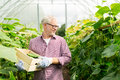 Old Man Picking Cucumbers Up At Farm Greenhouse Stock Photos - 82756013