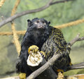 Red-handed Tamarin Royalty Free Stock Photography - 82756627