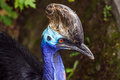 Head Of Southern Cassowary Stock Images - 82760434