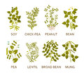 Legumes Plants With Leaves, Pods And Flowers. Royalty Free Stock Photo - 82768755