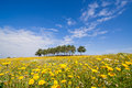 Spring Landscape With A Field Of Yellow Flowers Royalty Free Stock Images - 82815019