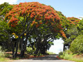 Flame Tree From Mauritius Stock Image - 82880711