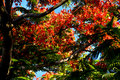 Flame Tree From Mauritius Stock Image - 82880821