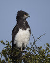 Closeup Sideview Of A Black-chested Harrier Eagle Sitting At The Top Of A Tree With Blue Sky Background Royalty Free Stock Photography - 82932417