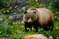 Grizzly Bear Stock Images - 82935524