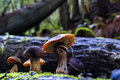 Family Of Mushrooms In Redwood Forest Stock Photography - 82965922
